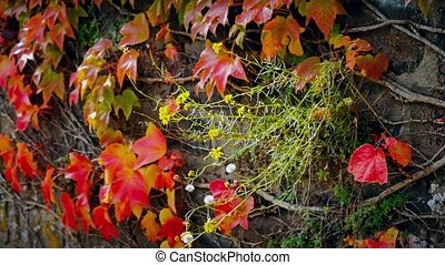 Plant with flowers on beautiful autumn fence of red ivy...