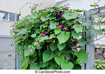 Plant with green leaves and flowers grows on fence