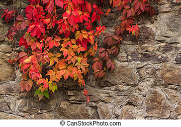 plant with red leaves on stone wall - climbing plant with...