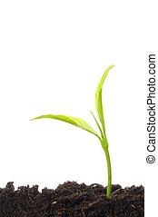 plant, witte , jonge