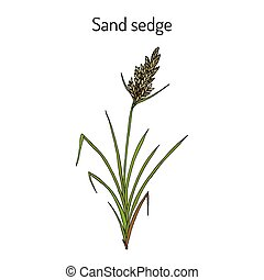 plant, zegge, carex, zand, arenaria, medicinaal