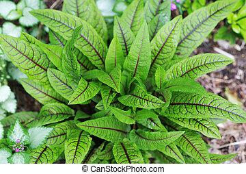 plant, zuring, geaderd, rood, franse