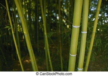 plantação, bambu, cana, verde