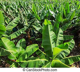 plantação, banana
