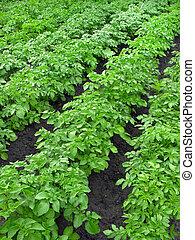 plantação, batata