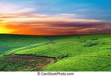 plantação, chá