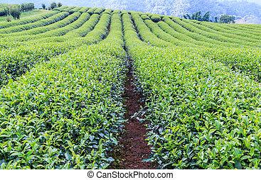 plantação, chá, paisagem verde