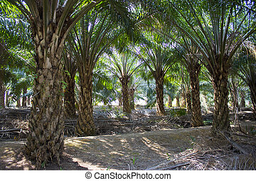 plantação, de, árvores palma óleo