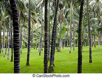 plantação, de, coqueiros