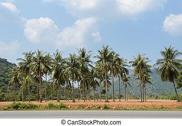 plantação, de, palma coco, árvores