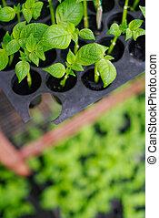 plantação, de, pequeno, seedlings