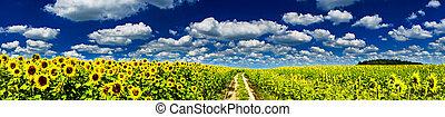plantação, dourado, sunflowers.