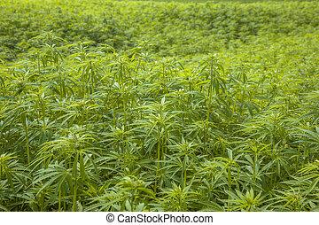 plantação, marihuana, fundo