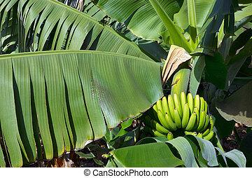 plantações, banana