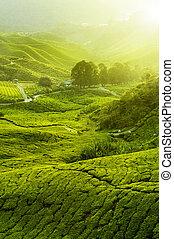 plantações chá