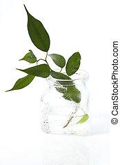 planta água, jovem
