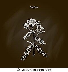 planta, achillea, medicinal, millefolium, milenrama, o