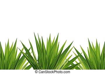 planta, agave, aislado, plano de fondo, blanco