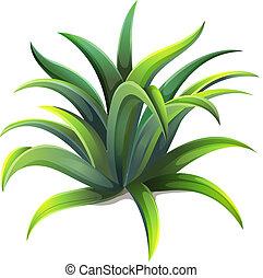 planta, agave, anão