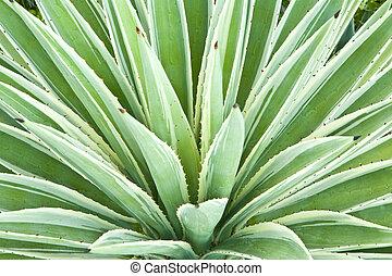 planta, agave