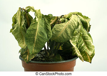 planta, agonizante