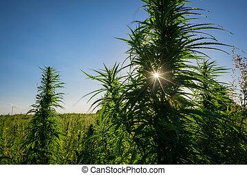 planta, ao ar livre, marijuana