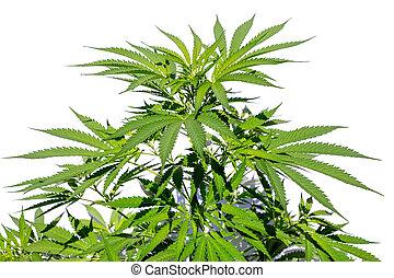planta, branca, cânhamo, isolado, fundo