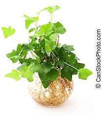 planta, branca, isolado, fundo, potted