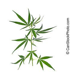 planta, branca, marijuana, fundo, isolado