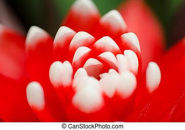 planta, bromeliad, frondoso, vermelho, agradável