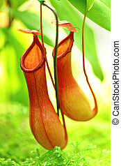 planta cántaro