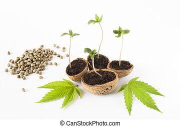 planta, cannabis, folhas, cru, sementes, verde, bebê, cânhamo
