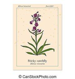 planta, catchfly, pegajoso, campion, silene, clammy, ...