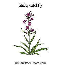 planta, catchfly, pegajoso, silene, medicinal, viscaria