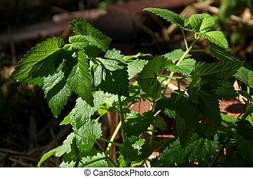 planta,  Catnip