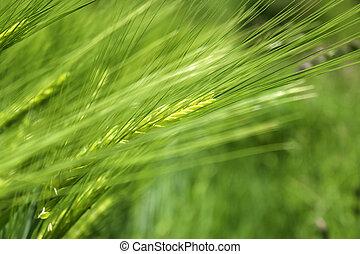 planta cereal