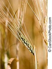 planta, cereal