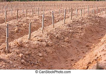 planta, comienzo, manioc, campo, cultivo, o, mandioca