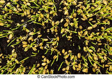 planta de semillero, crecer