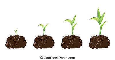 planta de semillero, o, germinación