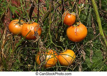 planta de tomate, teniendo, enfermedad