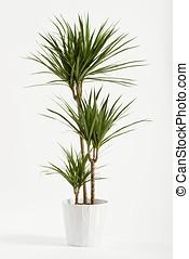 planta de yuca, contenedor, potted