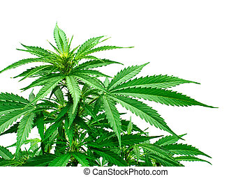 planta, detalhe, marijuana