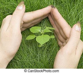 planta, em, capim
