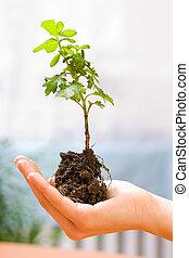 planta, em, mão