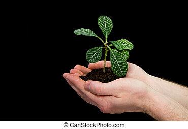 planta, em, mãos
