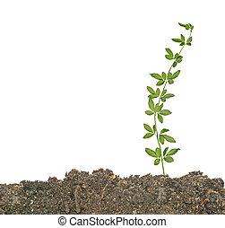 planta, em, solo
