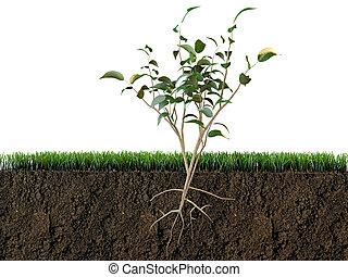 planta, em, solo, seção
