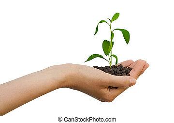 planta, em, um, mão
