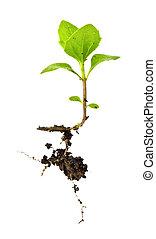 planta, en, blanco, aislamiento